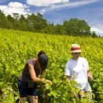 Dans les vignes Massingy (533x800)