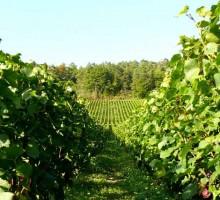 Le Châtillonnais est la terre d'excellence du Crémant de Bourgogne qui s'exprime ici en version originale.